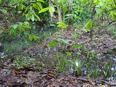 Muoi Coung Cocoa Farm