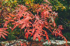 Red Autumn Leaves – Pigeon Hill, Georgia