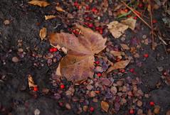 Autumn look (Baubec Izzet) Tags: baubecizzet pentax autumn leaves red