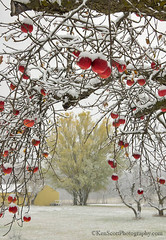 Color Tour ... apple tree curtain (Ken Scott) Tags: backpage firstsnow appletree red leelanau michigan usa 2018 november fall autumn 45thparallel hdr kenscott kenscottphotography kenscottphotographycom