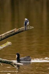 Pied Wagtail Perching over Coot (SLHPhotography1990) Tags: 2018 hersey life nature november reserve wild water bird autumn pied white wag tail wagtail perch wood coot