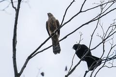 DSCF6510 (jojotaikoyaro) Tags: bird animal nature wildlife suginami tokyo japan fujifilm xh1 xf100400mm