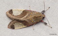 Tiger moth, Bertholdia sp. (Ecuador Megadiverso) Tags: amazon andreaskay arctiidae arctiinae bertholdiasp ecuador erebidae moth orkidealodge rainforest tigermoth tropic