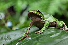 2J4A8081 (ajstone2548) Tags: 12月 樹蛙科 兩棲類 翡翠樹蛙