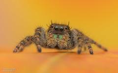 Bold Jumping Spider - Phidippus audax (salmoteb@rogers.com) Tags: spider wild outdoor nature leaf color fall bold jumping phidippus audax ontario canada toronto wildlife 105mm nikon raynox 250
