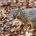 Malagasy Narrow-striped mongoose (Mungotictis d. decemlineata) or Bokiboky