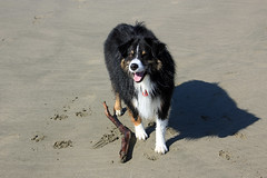 Dash has a Stick! (JB by the Sea) Tags: sanfrancisco california october2018 fortfunston australianshepherd aussieshepherd aussie dog dash