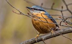 Sitta europaea (Torok_Bea) Tags: sittaeuropaea csuszka nikon birds bird nikond7200 natur nature nikond beautiful lovely wonderful color cute colours wild wildanimal forest autumncolours autumn