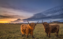 For heifer and heifer you'll be the one (Impact Imagz) Tags: highlandcattle highlanders highlandcow cattle browncow horns sunset field gress isleoflewis outerhebrides westernisles hebrides crofting croftingtownship crofts hebridean hebrideanlandscapes scotland canon irix mackerelskies