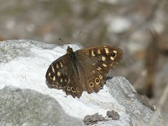 Speckled Wood (StevePaisley) Tags: speckled wood butterfly insect