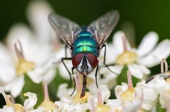 Green Bottle Blow-fly (Lucilia sp.) (Chambers35th) Tags: fly flies flower flowers blowfly greenbottle bluebottle bottle green blue portrait portraits best explore explored feature uk outdoors bugs bug blow insects insect invertebrates invertebrate invert nikon wildlife sigma wildlifephotography animals animal animalphotography macro macrophotography macrodreams macros makro