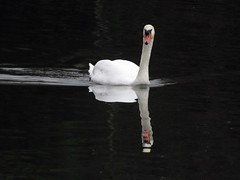 Swan 12-12-2018 (gallftree008) Tags: squirrel swans swan santry dublin dub dublincity park wildlife wild bird codublin county co eireann eire fingal ireland irish irishwildlife nature naturesbeauties naturescreations reflection reflected reflective reflections tree trees underthetrees water amazingnature chestnut branch branches december 12122018