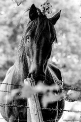 Stallion Came a Looking (WorcesterBarry) Tags: blackwhite bnw blackandwhite animals horse places outdoors urban lovebw light love monochrome dawn england adventure travel trees transport