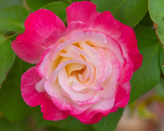 Pink Two Toned Rose in Bloom (Merrillie) Tags: shrub flowers nature australia twotoned newsouthwales garden nsw plant summer rose beautiful flora pink gardens pretty outdoors blooming bloom flower petals floral