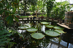 Water Lillies (Bri_J) Tags: butterflyhouse greenhouse copenhagenbotanicalgarden botaniskhave universityofcopenhagen copenhagen denmark københavn danmark nikon d7500 waterlillies water