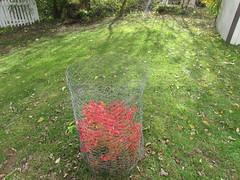 Tiny Burning bush (creed_400) Tags: november fall autumn belmont west michigan burning bush red leaves colors