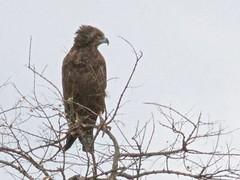 500_6890 (Bird Brian) Tags: brownsnakeeagle