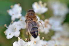 Honey bee on viburnum (conall..) Tags: i think probably viburnum tinus 'gwenllian' in garden viburnumtinus gwenllian' gwenllian honeybee
