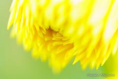 ダリア (Wako Megumi) Tags: クローズアップ ダリア dahlia 花 秋 マクロ マクロ撮影 黄色い花