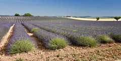 Provence (bryan_fish) Tags: provence lavender valensole sunflower