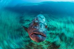 Cernia, da far girar la testa il Bajòn. Grouper, to make the Bajòn head turn. Mero, para hacer girar la cabeza de Bajón. (omar.flumignan) Tags: cernia mero grouper flip rotation rotazione canon g7xmk2 fantasea fg7xmk2 ikelite ds51 sidemount elbajòn larestinga elhierro canarie canarias canarian isola island underwater uwphoto sealife vitamarina scuba fauna pesce fish underwaterphoto uwphotograpy atlanticocean oceanoatlantico epinephelusmarginatus buceo arrecifaldivingcenter arrecifalcentrodebuceo ngc flickrtravelaward