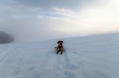 Hera im Schnee (Andi Fritzsch) Tags: hera winterwonderland winter snow frosty frostymorning sunrise sunrisephotography fogg foggymorning dog dogs doglovers animal animallovers erzgebirge