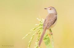 Plain Prina (ahmedezaz76) Tags: paddy field pipit bird bangladesh natural outdoor beauty beautiful animal frame colour contest