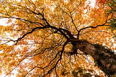 Tree (Derwisz) Tags: autumn fall leaf leaves lowangleofview nature orange plants trees yellow scarborough northyorkshire unitedkingdom lowpov england canoneos40d