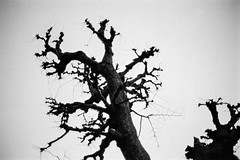 Much Pruned Tree (RunnyInHongKong) Tags: silverfast ilfordddx opticfilm120 selfdevelop japan tokyo ilfordhp5plus blackwhite minatoku nikkor50mmaff14g 35mm film nikonf6