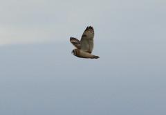 IMG_9892 (monika.carrie) Tags: monikacarrie wildlife seo shortearedowl forvie scotland owl