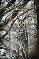 Moyenduc5_FB (ronaldgauthier) Tags: moyenduc owl owls nature naturephotography wildlife wildlifephotography longearedowl winter birdsofprey birds