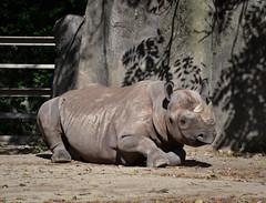 Rhinoceros (Vinny Gragg) Tags: animal animals rhino brookfieldzoo zoo brookfieldillinois brookfield illinois zoos rhinoceros horn horns