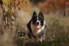 *** odore di mosto *** (fsstudiopetphotography) Tags: fsstudio fsstudiopetphoto stayfsstudio bordercollie border bordercollielover dog doglover blackandwhite leaves grapes most picoftheday photographer dogphotographer dogart dogoftheday nikon canon sony sonyalpha