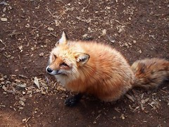 @everythingfox September 16 2018 at 09:02AM (hellfireassault) Tags: foxes everythingfox september 16 2018 0902am fantasticfoxes november 18 0936am