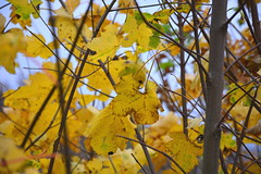 Yellow (ericgrhs) Tags: tree leaves blätter laub herbst autumn fall nature natur tiefenschärfe dof branches zweige
