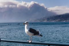 Seagull and Smoke (rikioscamera) Tags: beach bird birds d750 lightroom nikon santamonica santamonicapier seagull sky smoke ocean