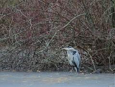 great blue heron on thin ice (primpenny1) Tags: greatblueheron bird wildlife