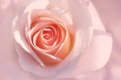 lovely heart (christophe.laigle) Tags: rose christophelaigle fleur macro lovelyheart nature flower fuji xpro2 xf60mm coth5