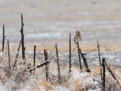 short eared owl on fence - HFF (Brian Eagar Nature Photography) Tags: wildlife nature animal wild bird utah utahbird utahwildlife utahnature utahanimal olympus 300mm olympus300mmf4 em1 em1m2 em1mii owl shortearedowl raptor fence