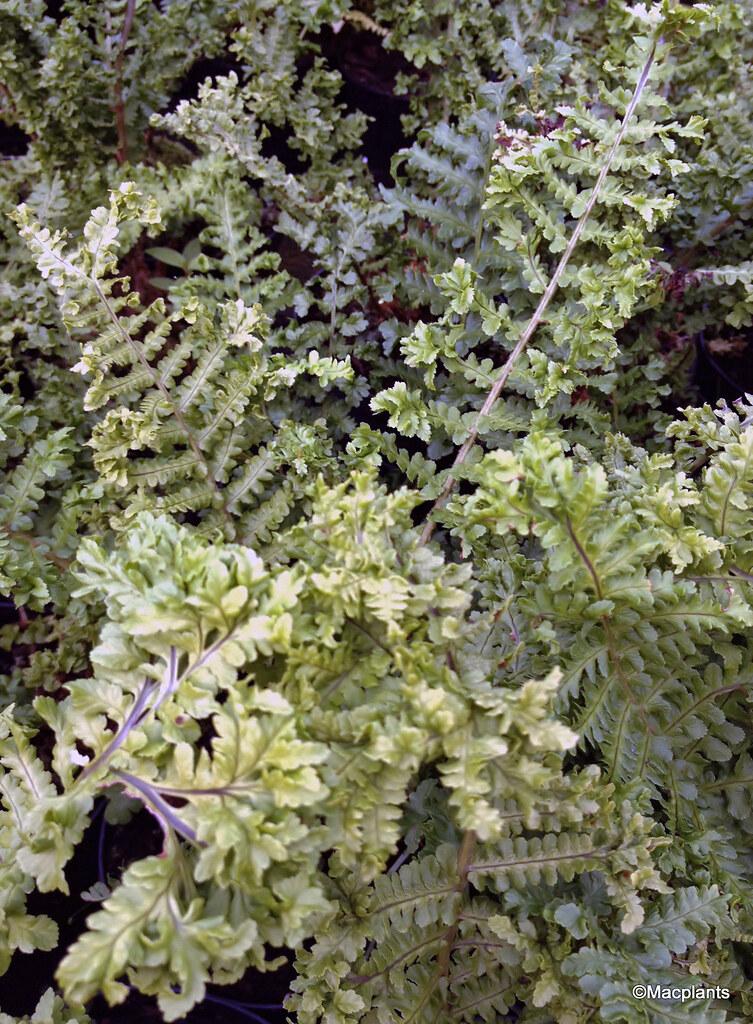 Dryopteris affinis 'Crispa Congesta'