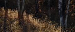 (Luminous☆West) Tags: sigma sd sdq sdqh quattro h sdquattroh foveon 85mm f14 14 dg art landscape 219 sdqh2568 luminous west luminouswest aspen forest woods colorado