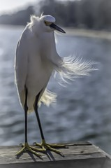 Egret (lleon1126) Tags: bird egret fowl whiteegret wings friendlychallenges florida waterbird birdportrait
