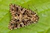 _W4A9385 Lychnis (Hadena bicruris) (ajmatthehiddenhouse) Tags: moth uk garden stmargaretsatcliffe kent 2018 hadeninae noctuidae hadenabicruris hadena bicruris lychnis