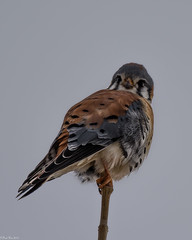 View from the top (Fred Roe) Tags: nikond7100 nikonafsnikkor200500mm156eed nature wildlife raptor falcon birds birding birdwatching birdwatcher americankestrel falcosparverius peacevalleypark fav2019