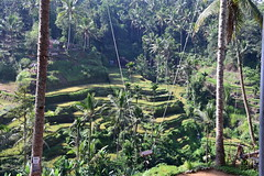 I can't thank my guide enough for bringing me to this secluded viewing area (shankar s.) Tags: seasia indonesia java bali islandparadise baliisland touristdestination ubudbali stepformofagriculture lush green emeraldgreen terracedricefields paddyfield ricepaddies ricefield tegallalangriceterraces
