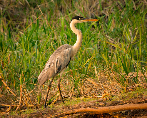 Cocoi Heron late afternoon by Rick Schoenfield - Class A Digital HM - Jan 2019