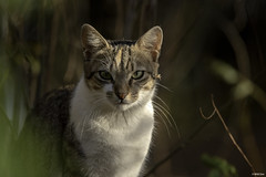 Tabby and white cat with green eyes, Senegal (wildonephotography) Tags: cat tabby white greeneyes senegal