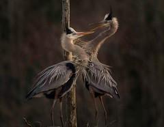 Talking about courtship....Nesting Great Blue Heron Pair (Christine Fusco) Tags: nestinggreatblueherons greatblueherons courtship nest swamp marsh plumage beaks southcarolina thelowcountry charleston naturephotographer birdphotographer womeninphotography