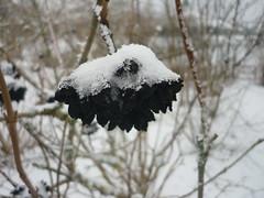 Schwarze Früchte - Wolliger Schneeball (Jörg Paul Kaspari) Tags: hosingen centre ösling winter wolliger schneeball viburnumlantana früchte fruits schnee black schwarz