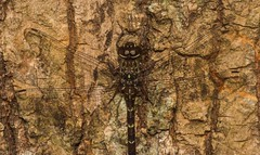 Sigma Darner (dustaway) Tags: arthropoda insecta odonata anisoptera telephlebiidae austroaeschnasigma dragonfly australianinsects tamborinemountain queensland australia